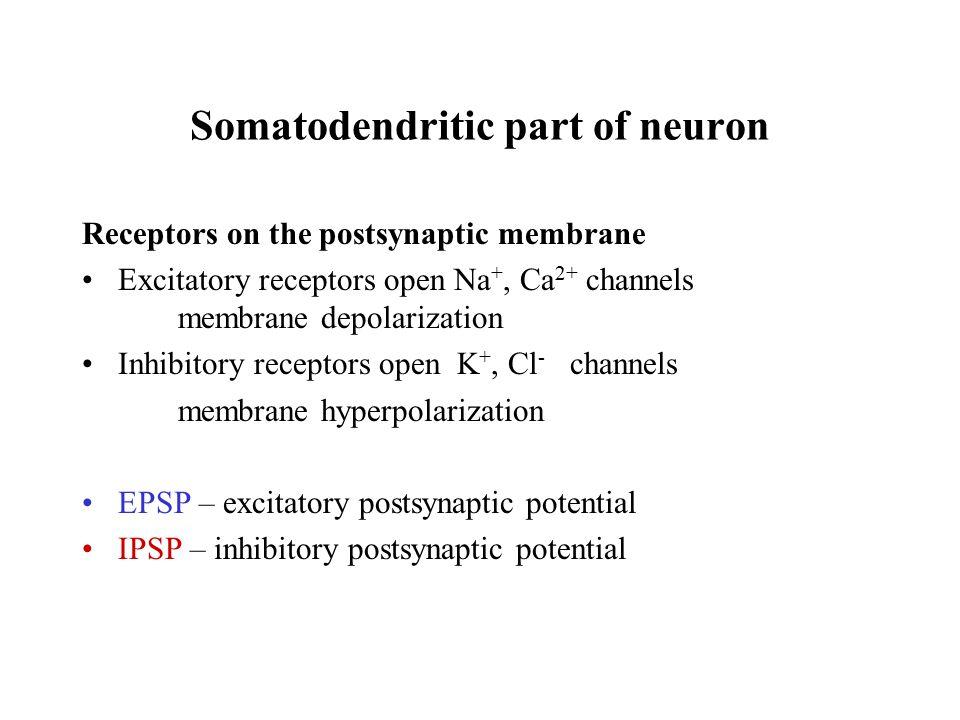 Somatodendritic part of neuron Receptors on the postsynaptic membrane Excitatory receptors open Na +, Ca 2+ channels membrane depolarization Inhibitor