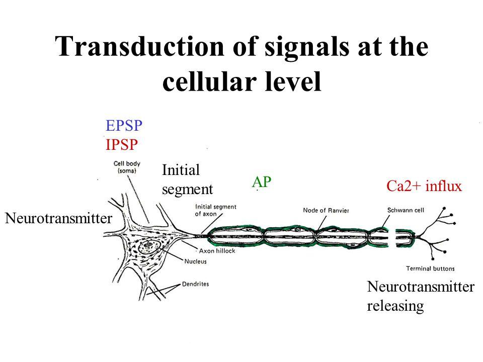 Transduction of signals at the cellular level EPSP IPSP Initial segment AP Ca2+ influx Neurotransmitter Neurotransmitter releasing