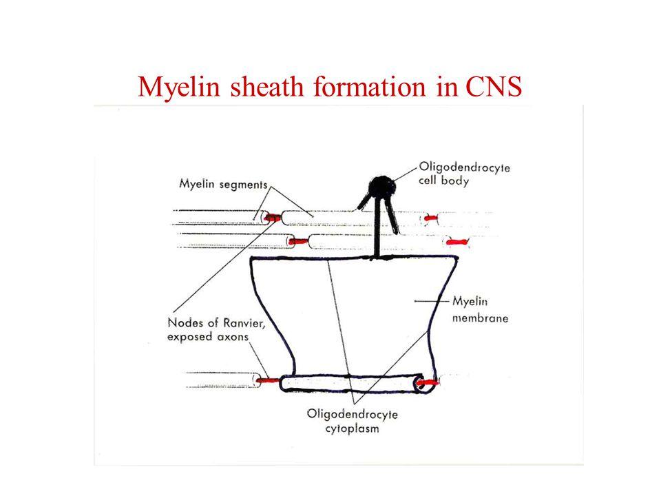 Myelin sheath formation in CNS