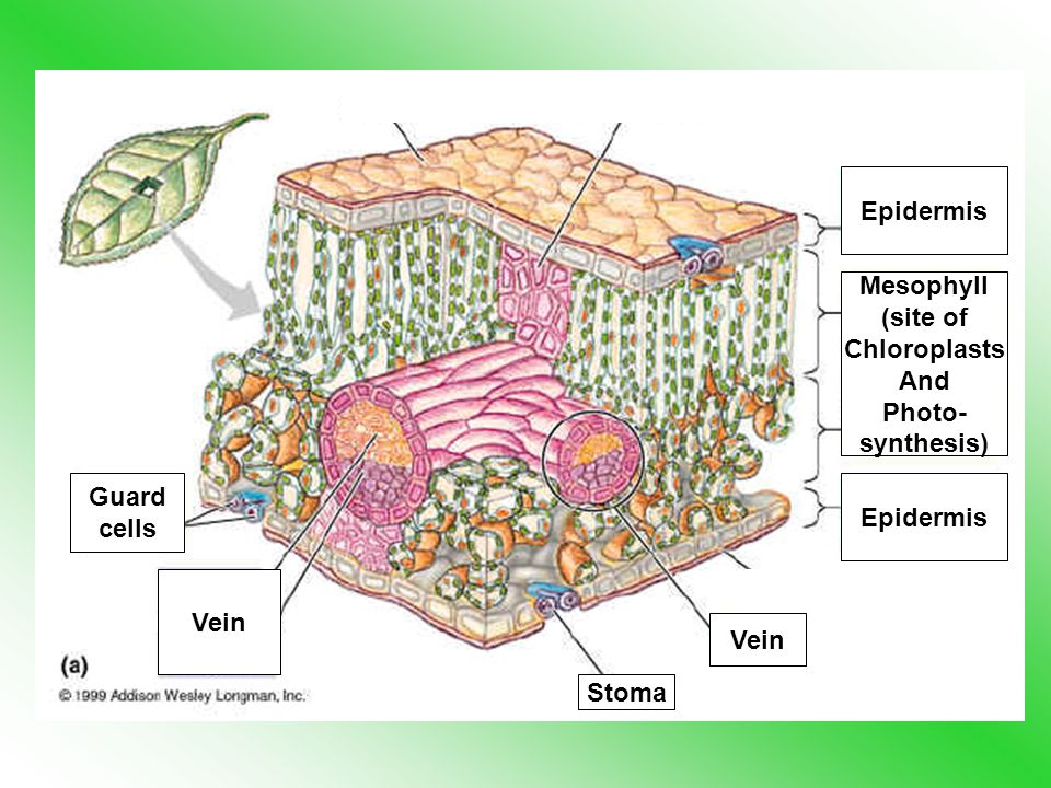 Vein Epidermis Mesophyll (site of Chloroplasts And Photo- synthesis) Guard cells Vein Stoma Epidermis