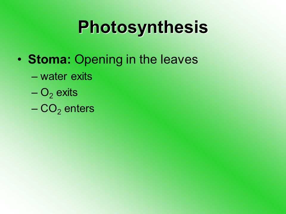 Photosynthesis Stoma: Opening in the leaves –water exits –O 2 exits –CO 2 enters