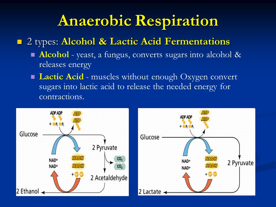 Anaerobic Respiration 2 types: Alcohol & Lactic Acid Fermentations 2 types: Alcohol & Lactic Acid Fermentations Alcohol - yeast, a fungus, converts su