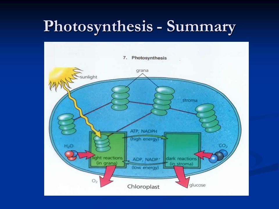 Photosynthesis - Summary