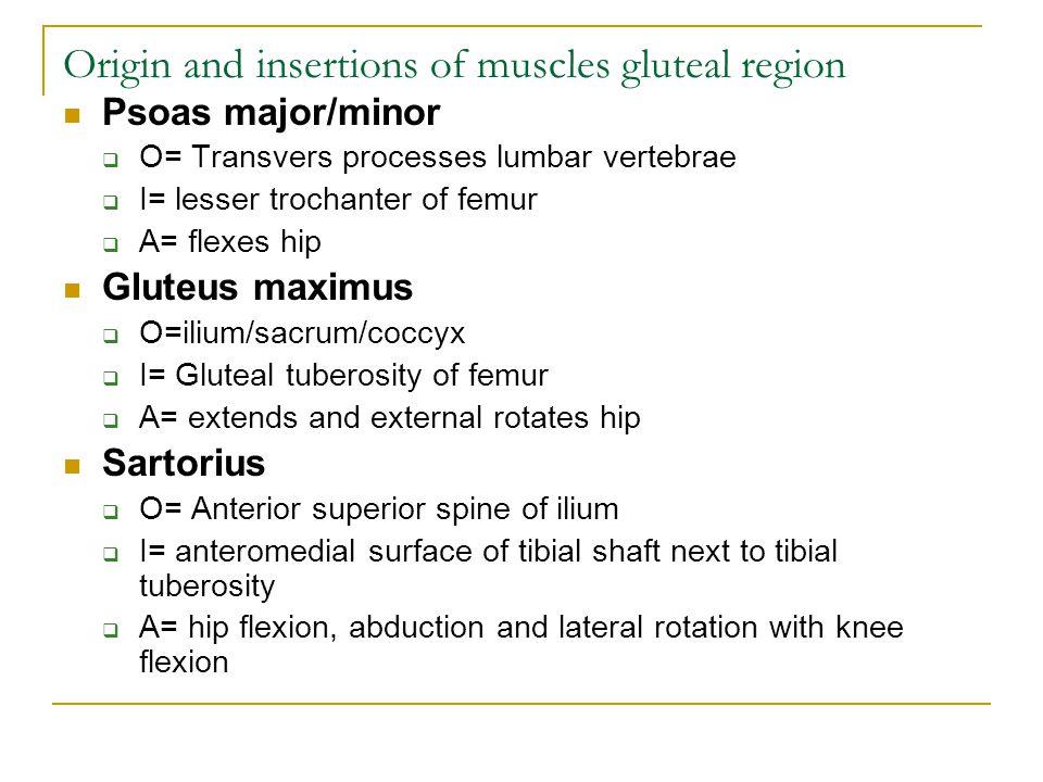 Origin and insertions of muscles gluteal region Psoas major/minor  O= Transvers processes lumbar vertebrae  I= lesser trochanter of femur  A= flexes hip Gluteus maximus  O=ilium/sacrum/coccyx  I= Gluteal tuberosity of femur  A= extends and external rotates hip Sartorius  O= Anterior superior spine of ilium  I= anteromedial surface of tibial shaft next to tibial tuberosity  A= hip flexion, abduction and lateral rotation with knee flexion