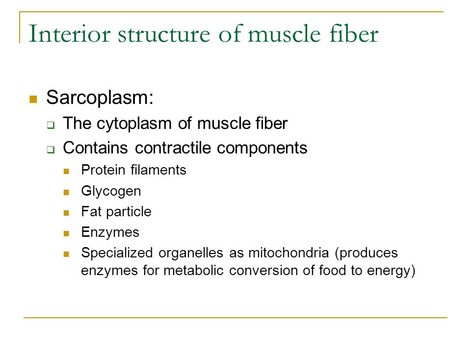 Interior structure of muscle fiber Sarcoplasm:  The cytoplasm of muscle fiber  Contains contractile components Protein filaments Glycogen Fat partic