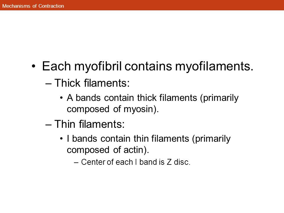Mechanisms of Contraction Each myofibril contains myofilaments. –Thick filaments: A bands contain thick filaments (primarily composed of myosin). –Thi