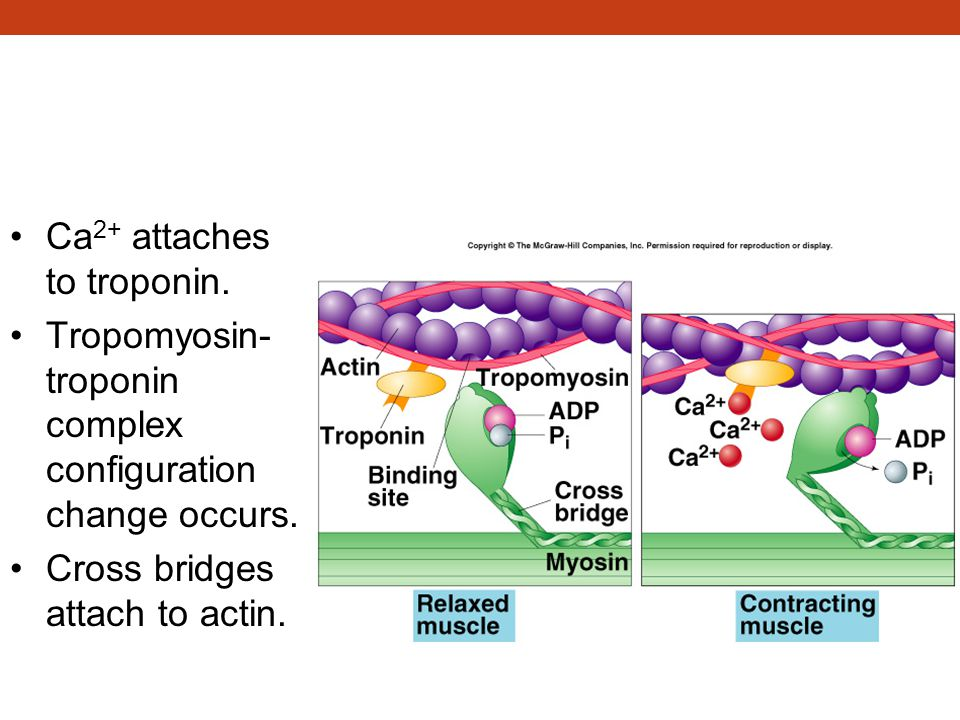 Excitation-Contraction Coupling (continued) Ca 2+ attaches to troponin. Tropomyosin- troponin complex configuration change occurs. Cross bridges attac