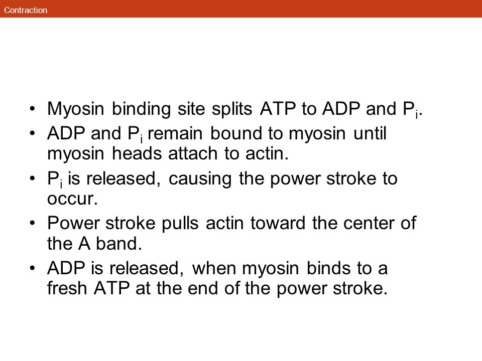 Contraction Myosin binding site splits ATP to ADP and P i. ADP and P i remain bound to myosin until myosin heads attach to actin. P i is released, cau