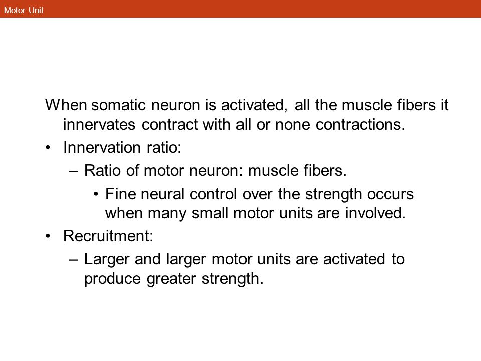 Motor Unit When somatic neuron is activated, all the muscle fibers it innervates contract with all or none contractions. Innervation ratio: –Ratio of