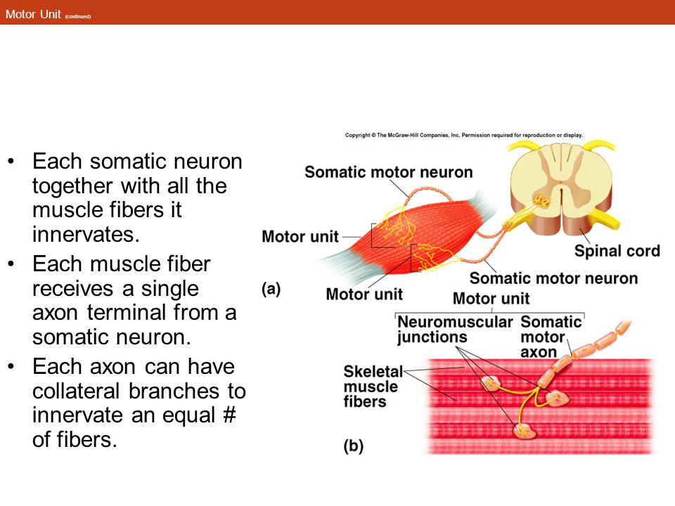 Motor Unit (continued) Each somatic neuron together with all the muscle fibers it innervates. Each muscle fiber receives a single axon terminal from a