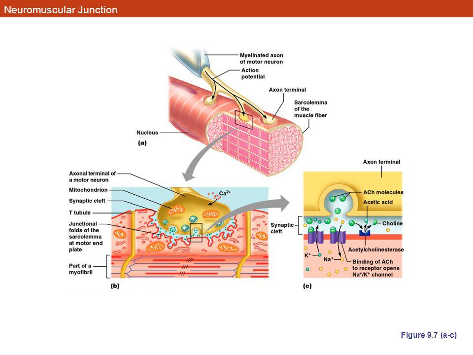 Neuromuscular Junction Figure 9.7 (a-c)