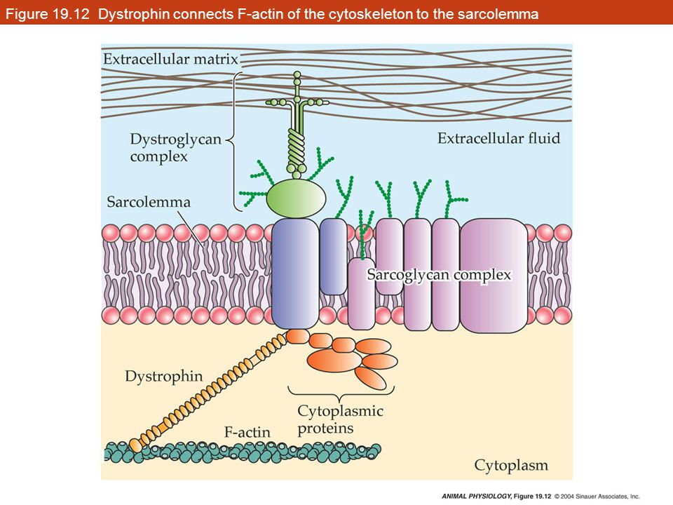 Figure 19.12 Dystrophin connects F-actin of the cytoskeleton to the sarcolemma
