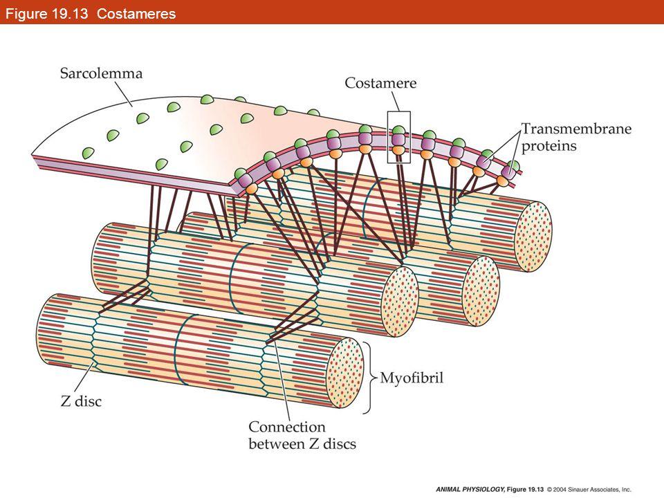 Figure 19.13 Costameres