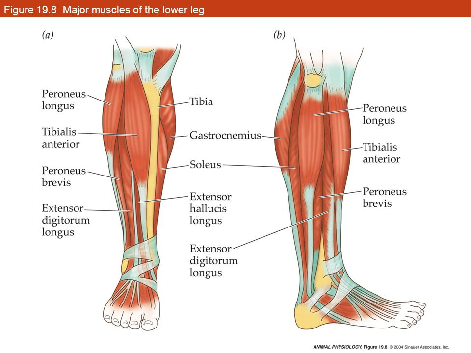Figure 19.8 Major muscles of the lower leg