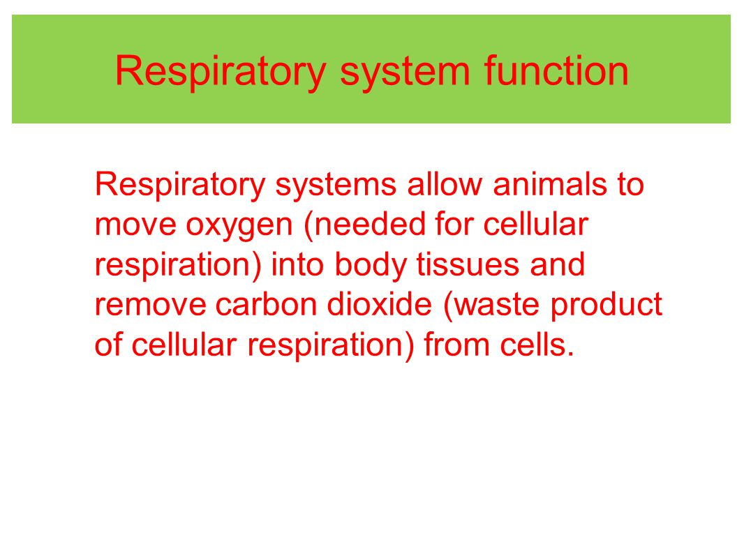 Respiratory system function Respiratory systems allow animals to move oxygen (needed for cellular respiration) into body tissues and remove carbon dioxide (waste product of cellular respiration) from cells.