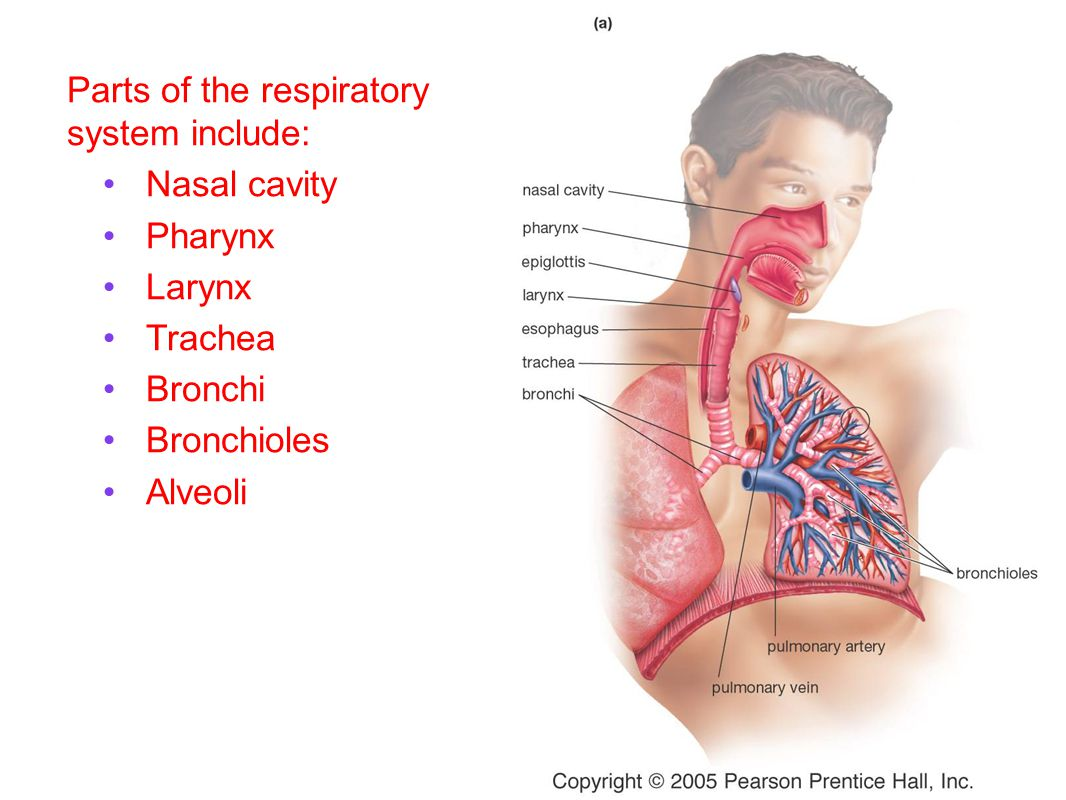Parts of the respiratory system include: Nasal cavity Pharynx Larynx Trachea Bronchi Bronchioles Alveoli