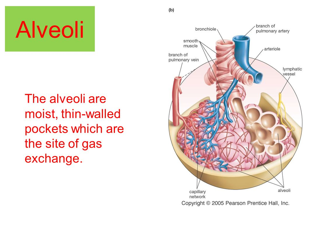 The alveoli are moist, thin-walled pockets which are the site of gas exchange.