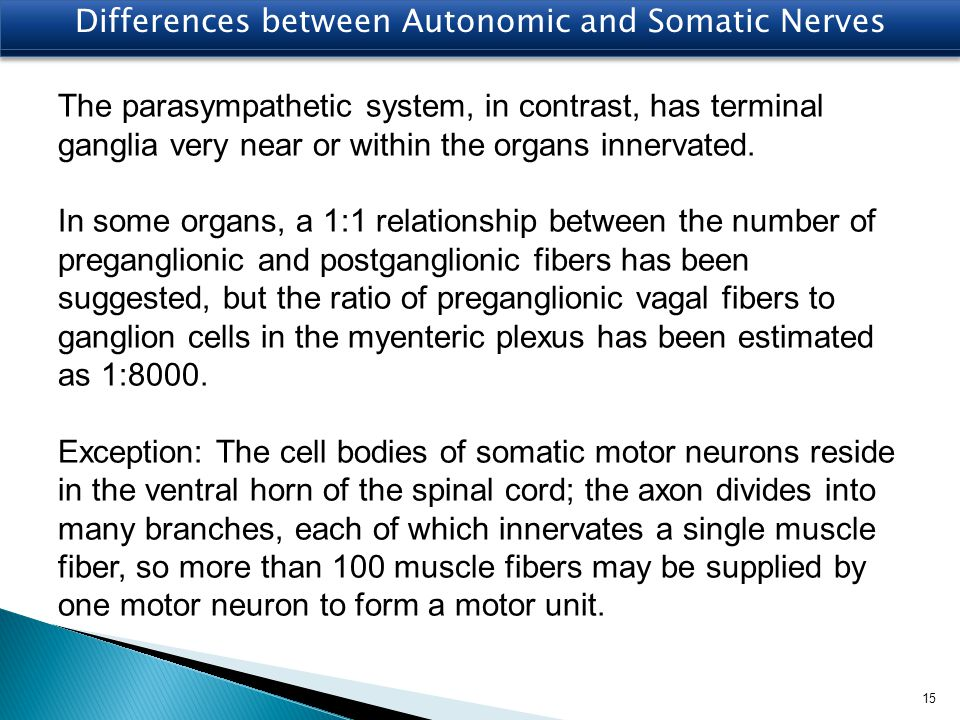 Differences between Autonomic and Somatic Nerves The parasympathetic system, in contrast, has terminal ganglia very near or within the organs innervat
