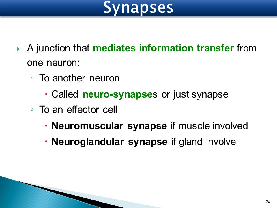  A junction that mediates information transfer from one neuron: ◦ To another neuron  Called neuro-synapses or just synapse ◦ To an effector cell  N