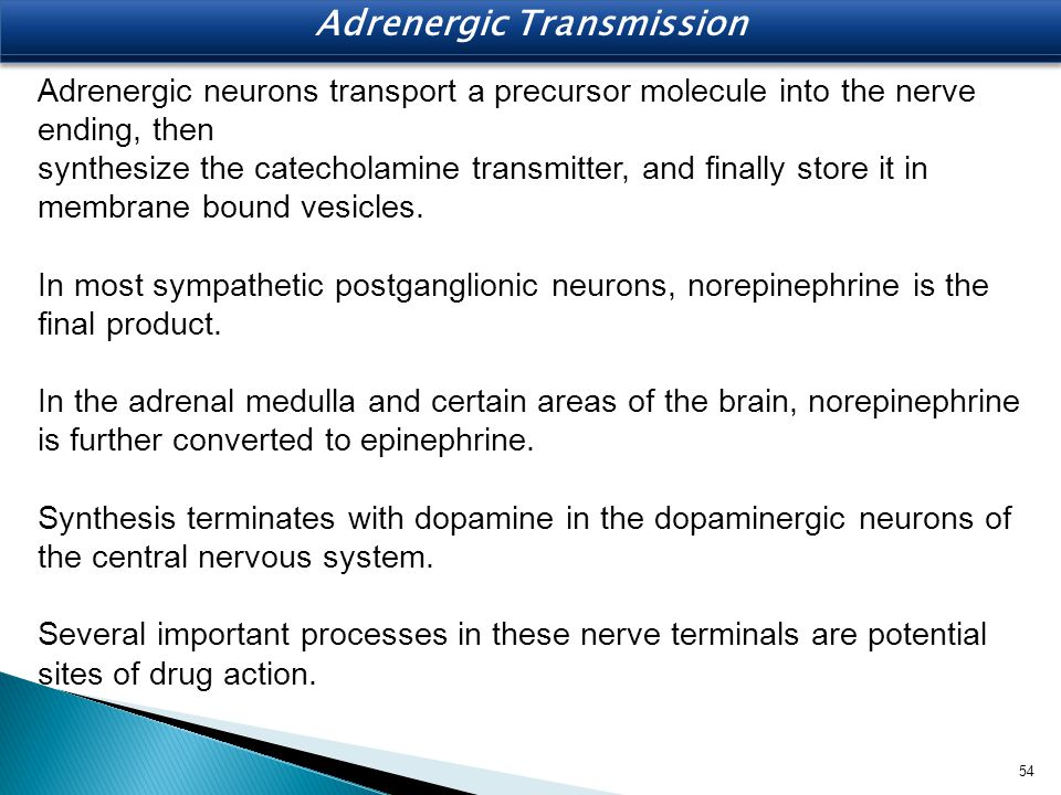 Adrenergic neurons transport a precursor molecule into the nerve ending, then synthesize the catecholamine transmitter, and finally store it in membra