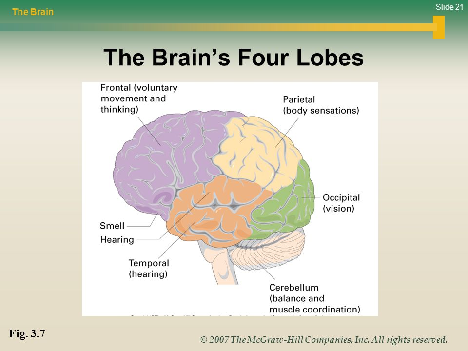 Slide 21 © 2007 The McGraw-Hill Companies, Inc. All rights reserved. The Brain's Four Lobes The Brain Fig. 3.7