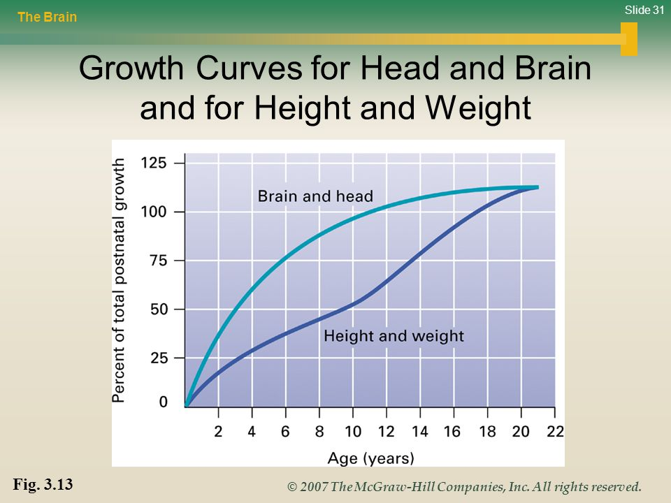 Slide 31 © 2007 The McGraw-Hill Companies, Inc. All rights reserved. Growth Curves for Head and Brain and for Height and Weight Fig. 3.13 The Brain