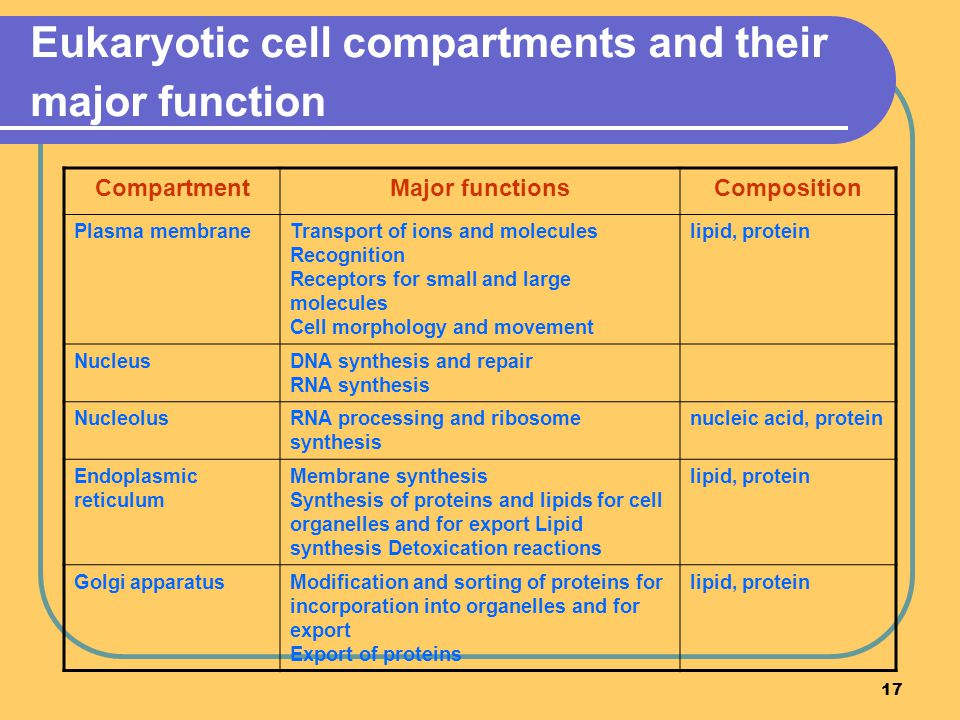 17 Eukaryotic cell compartments and their major function CompartmentMajor functionsComposition Plasma membraneTransport of ions and molecules Recognition Receptors for small and large molecules Cell morphology and movement lipid, protein NucleusDNA synthesis and repair RNA synthesis NucleolusRNA processing and ribosome synthesis nucleic acid, protein Endoplasmic reticulum Membrane synthesis Synthesis of proteins and lipids for cell organelles and for export Lipid synthesis Detoxication reactions lipid, protein Golgi apparatusModification and sorting of proteins for incorporation into organelles and for export Export of proteins lipid, protein