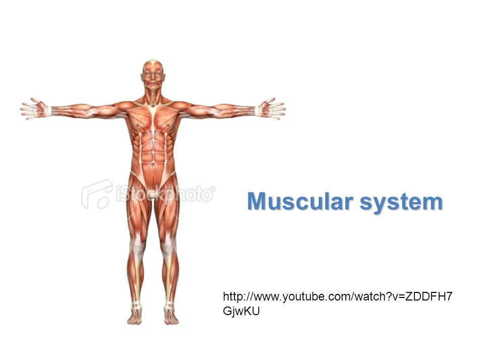 Lesson Overview Lesson Overview The Muscular System How Muscles and Bones Interact When the triceps muscle contracts, it opens the elbow joint.
