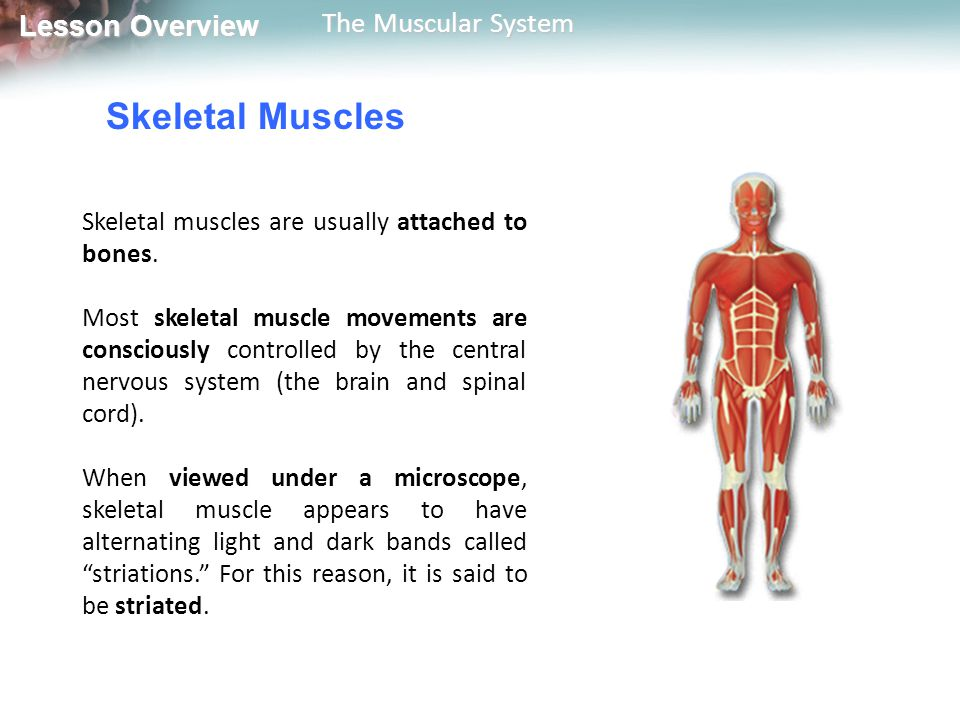 Lesson Overview Lesson Overview The Muscular System Control of Muscle Contraction Skeletal muscles are useful only if they contract in a controlled fashion.