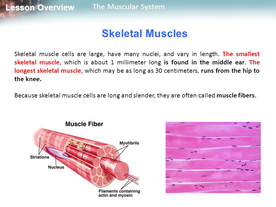 Lesson Overview Lesson Overview The Muscular System Smooth Muscles Smooth muscle cells don't have striations and therefore look smooth under the microscope.