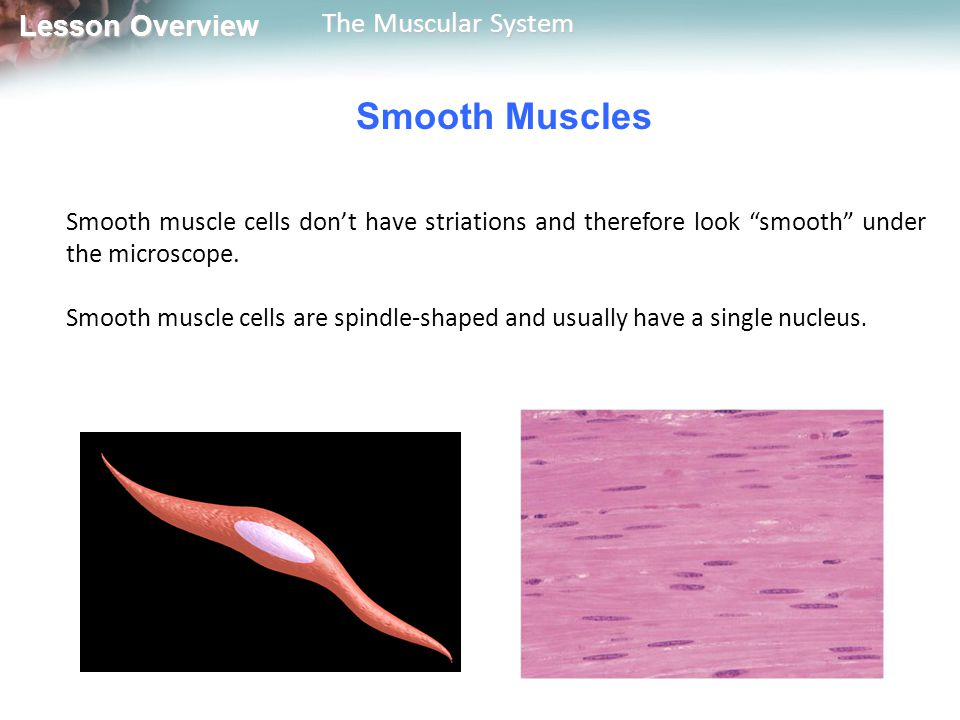 Lesson Overview Lesson Overview The Muscular System A muscle cell contracts until the release of ACh stops and an enzyme destroys any remaining ACh.