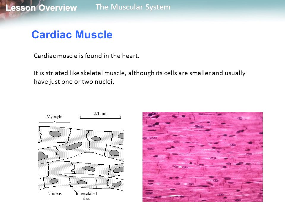 Lesson Overview Lesson Overview The Muscular System Cardiac Muscle Cardiac muscle is usually not under the direct control of the central nervous system.
