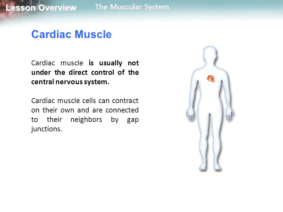 Lesson Overview Lesson Overview The Muscular System How Muscles and Bones Interact Most skeletal muscles work in opposing pairs—when one muscle contracts, the other relaxes.