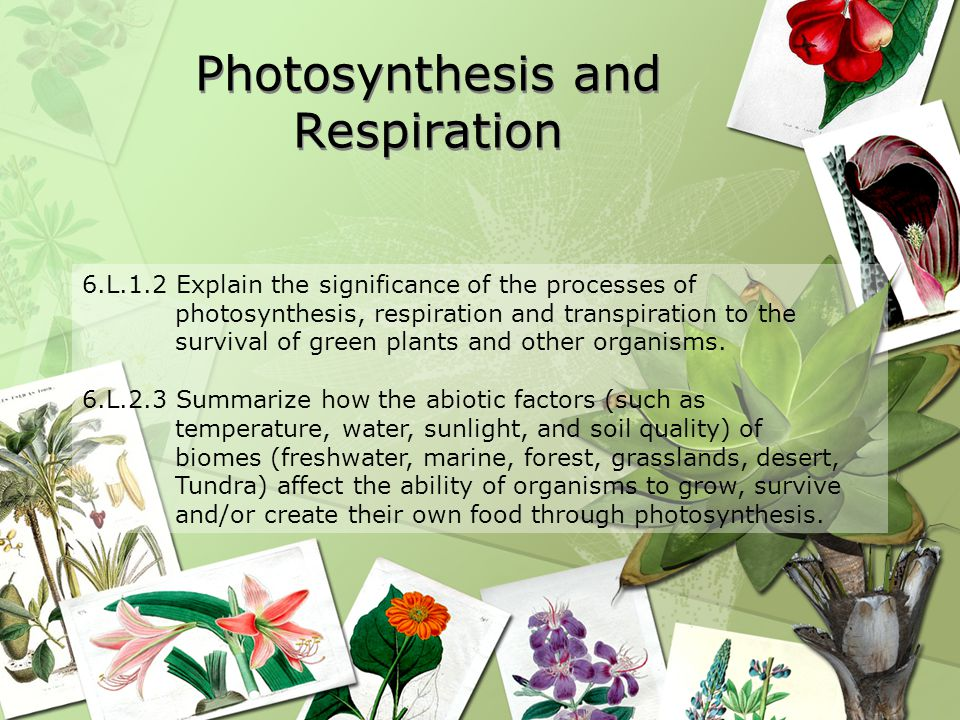 Photosynthesis and Respiration 6.L.1.2 Explain the significance of the processes of photosynthesis, respiration and transpiration to the survival of green plants and other organisms.