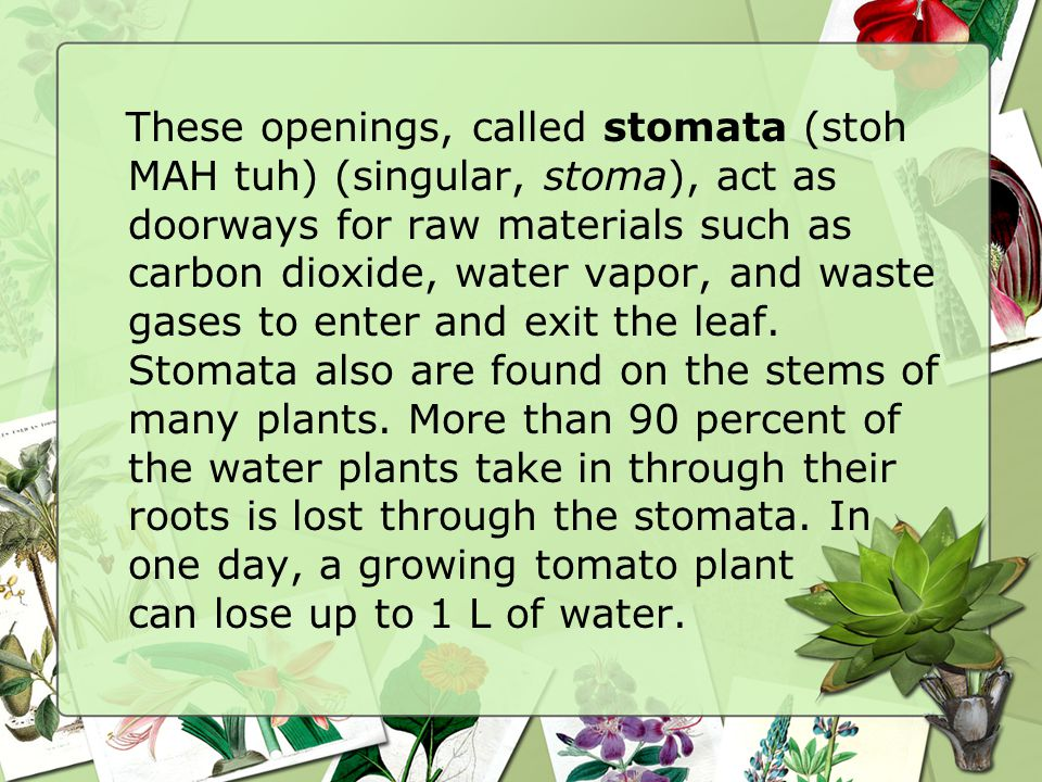 These openings, called stomata (stoh MAH tuh) (singular, stoma), act as doorways for raw materials such as carbon dioxide, water vapor, and waste gases to enter and exit the leaf.