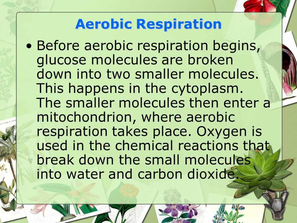 Aerobic Respiration Before aerobic respiration begins, glucose molecules are broken down into two smaller molecules. This happens in the cytoplasm. Th