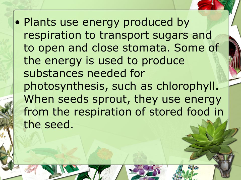 Plants use energy produced by respiration to transport sugars and to open and close stomata.