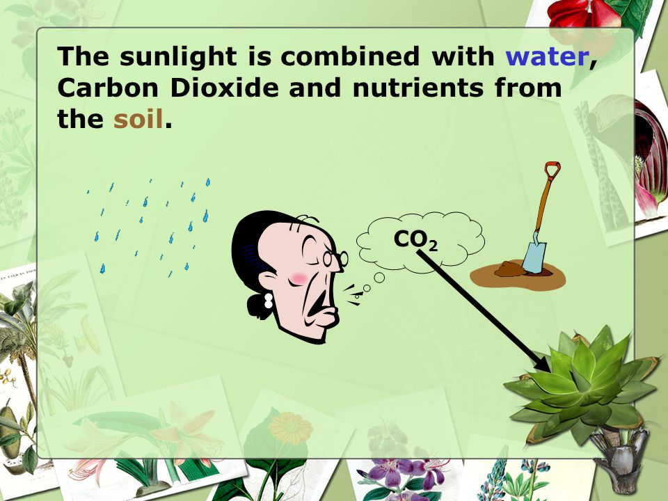 The sunlight is combined with water, Carbon Dioxide and nutrients from the soil. CO 2