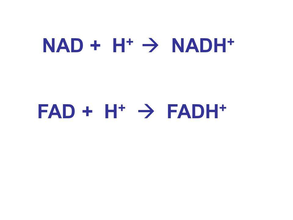 NAD + H +  NADH + FAD + H +  FADH +