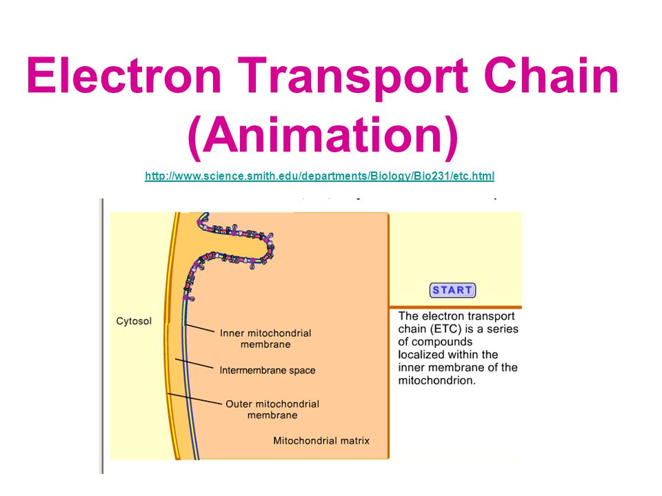 Electron Transport Chain (Animation) http://www.science.smith.edu/departments/Biology/Bio231/etc.html