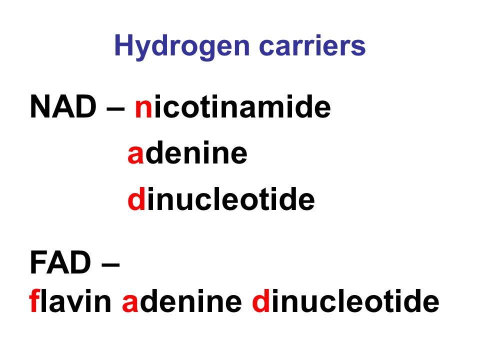 Hydrogen carriers NAD – nicotinamide adenine dinucleotide FAD – flavin adenine dinucleotide