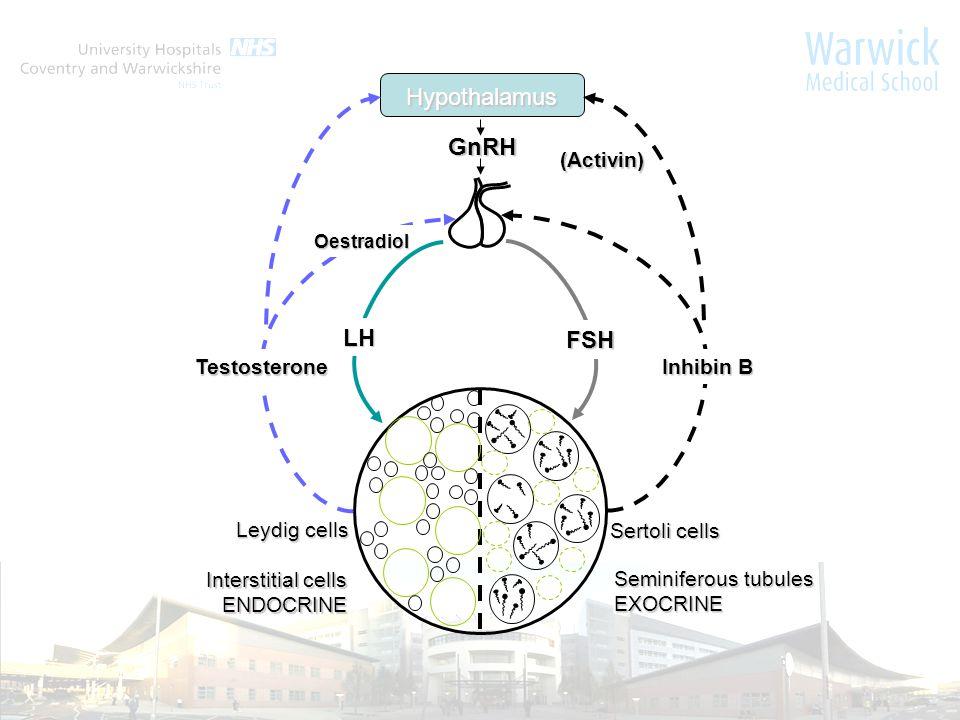 Hypothalamus (Activin) GnRH FSH Oestradiol Testosterone Inhibin B LH Leydig cells Sertoli cells Interstitial cells ENDOCRINE Seminiferous tubules EXOCRINE