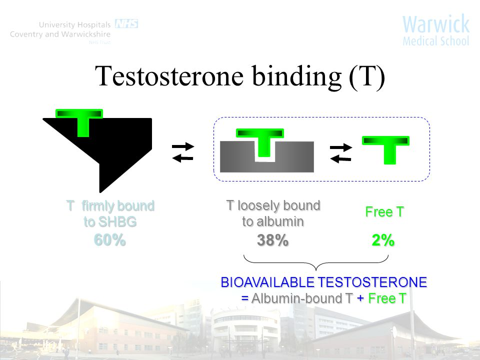 T firmly bound to SHBG 60% BIOAVAILABLE TESTOSTERONE = Albumin-bound T + Free T Free T T loosely bound to albumin 2%38% Testosterone binding (T)
