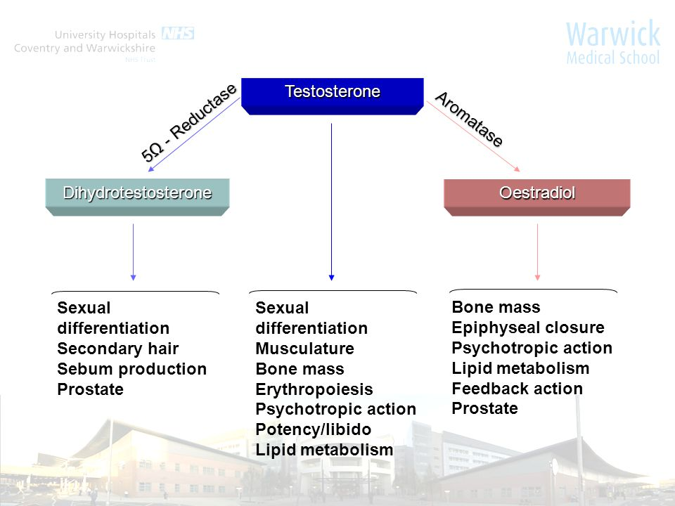 Sexual differentiation Musculature Bone mass Erythropoiesis Psychotropic action Potency/libido Lipid metabolism Bone mass Epiphyseal closure Psychotropic action Lipid metabolism Feedback action Prostate Sexual differentiation Secondary hair Sebum production Prostate Testosterone DihydrotestosteroneOestradiol Aromatase 5Ω - Reductase