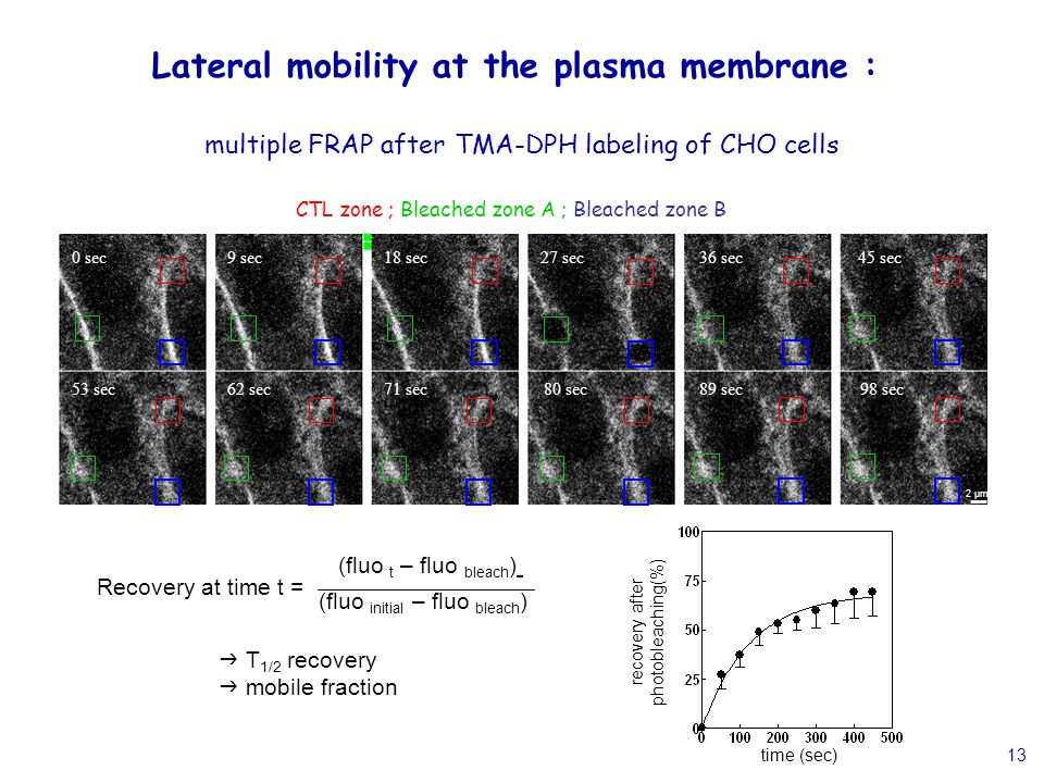 13 Lateral mobility at the plasma membrane : multiple FRAP after TMA-DPH labeling of CHO cells 0 sec9 sec18 sec27 sec36 sec45 sec 98 sec89 sec80 sec71 sec62 sec53 sec 2 µm CTL zone ; Bleached zone A ; Bleached zone B Recovery at time t = (fluo t – fluo bleach ) (fluo initial – fluo bleach ) recovery after photobleaching(%) time (sec)  T 1/2 recovery  mobile fraction