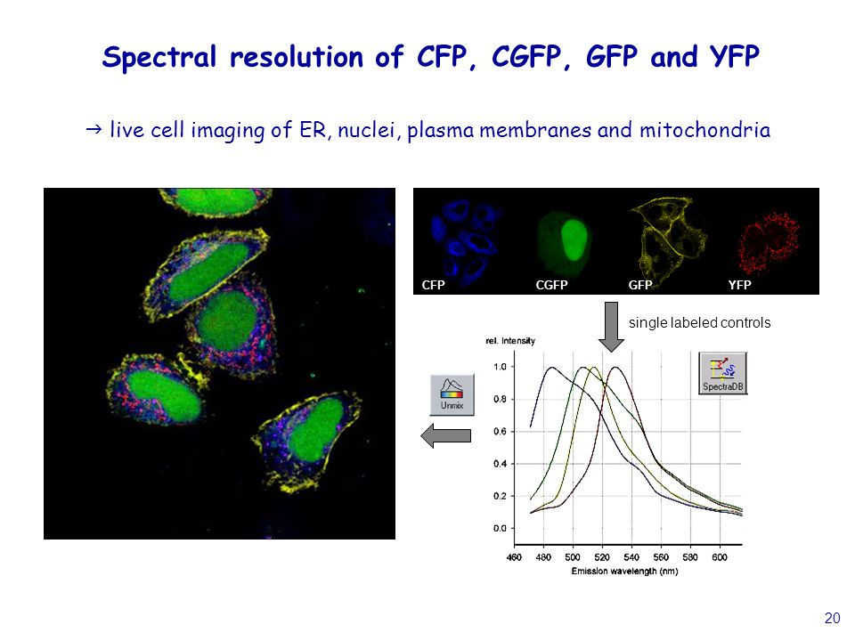 20 Spectral resolution of CFP, CGFP, GFP and YFP  live cell imaging of ER, nuclei, plasma membranes and mitochondria CFPCGFP GFP YFP CFPCGFPYFPGFP single labeled controls