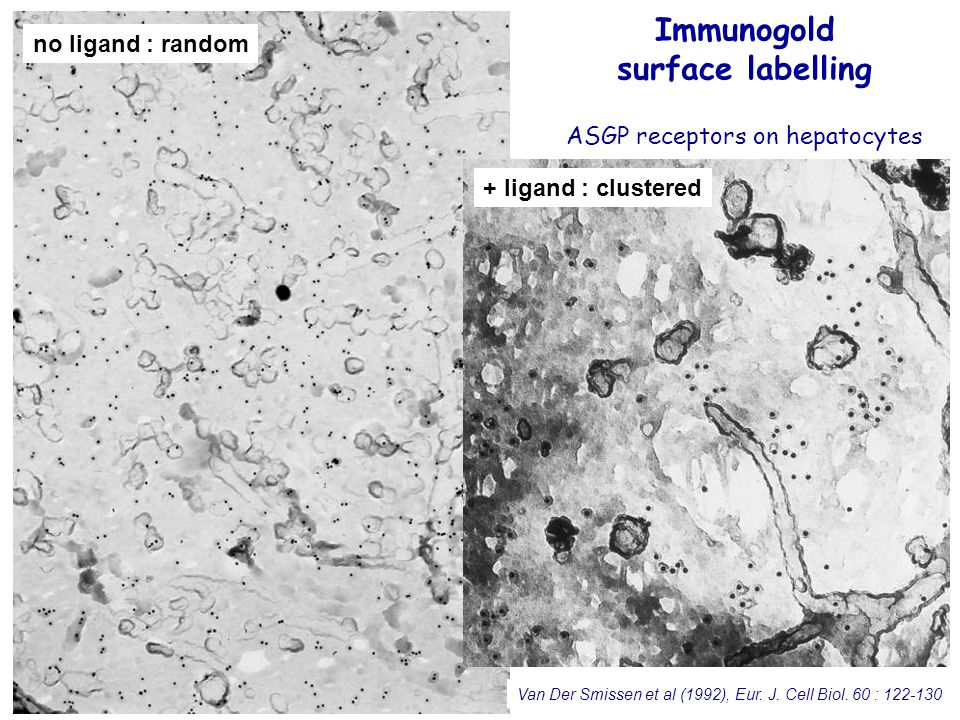 41 Immunogold surface labelling ASGP receptors on hepatocytes Immunogold surface labelling ASGP receptors on hepatocytes Van Der Smissen et al (1992), Eur.