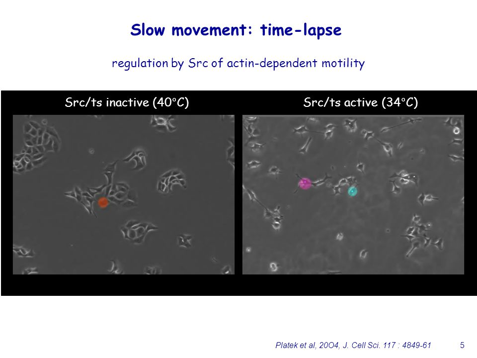 5 Slow movement: time-lapse Src/ts inactive (40°C)Src/ts active (34°C) regulation by Src of actin-dependent motility Platek et al, 20O4, J.