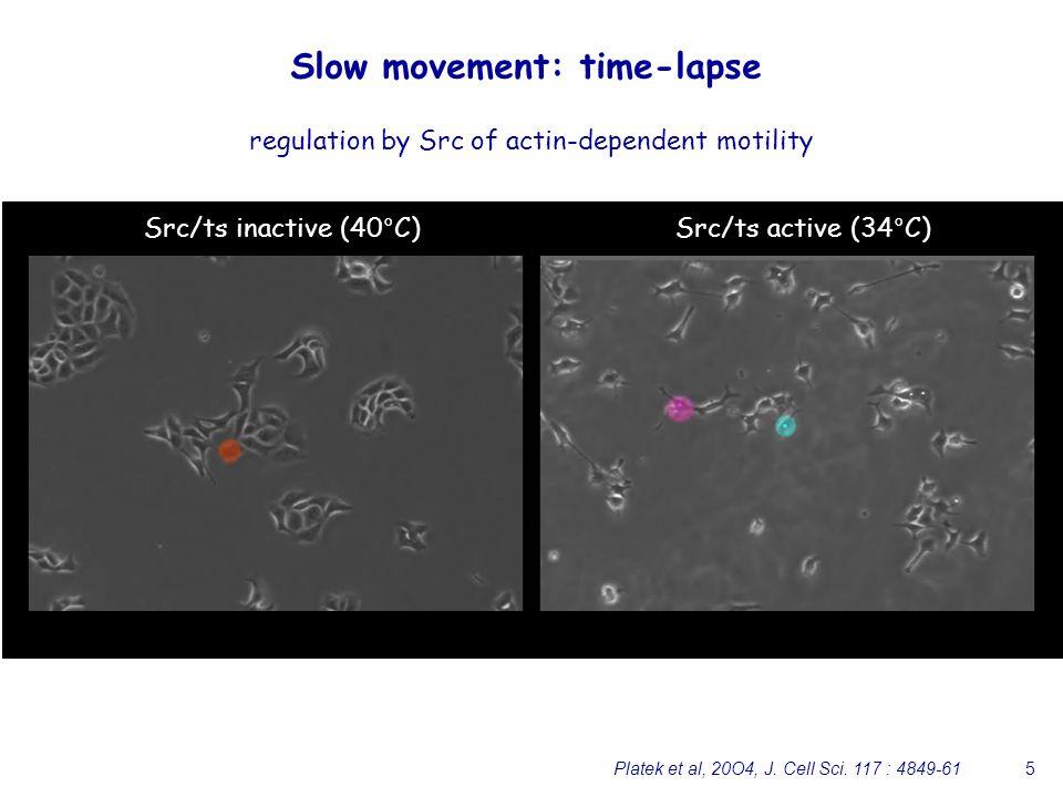 5 Slow movement: time-lapse Src/ts inactive (40°C)Src/ts active (34°C) regulation by Src of actin-dependent motility Platek et al, 20O4, J. Cell Sci.