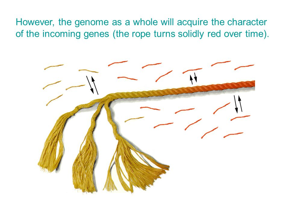 However, the genome as a whole will acquire the character of the incoming genes (the rope turns solidly red over time).